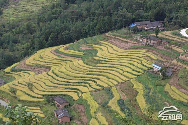 云阳:喜迎农民丰收节 稻穗香里抢收忙