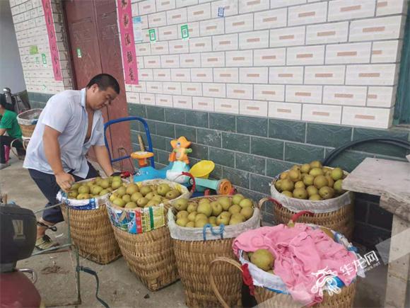 村民刚采摘回来的丰水梨等待第二天售卖。华龙网—新重庆客户端 冉长军 摄