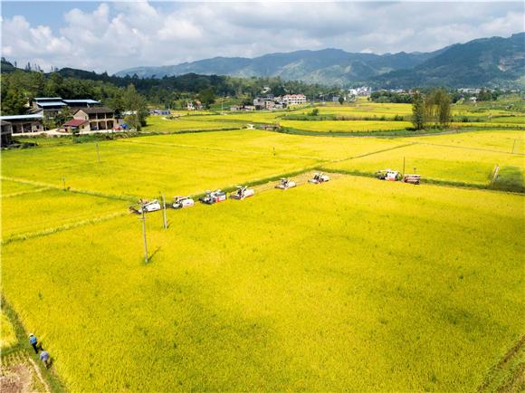 金灿灿的稻田美如画卷。通讯员 陈小娅 洪琳 姜涵玲 供图